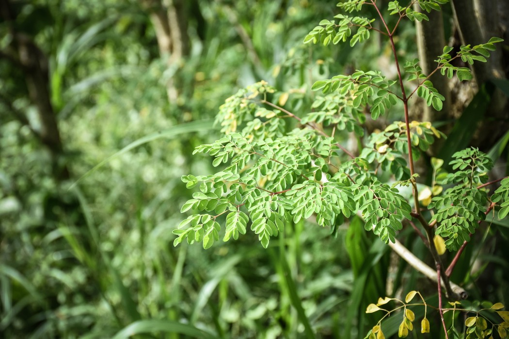 Moringa Perennial Green