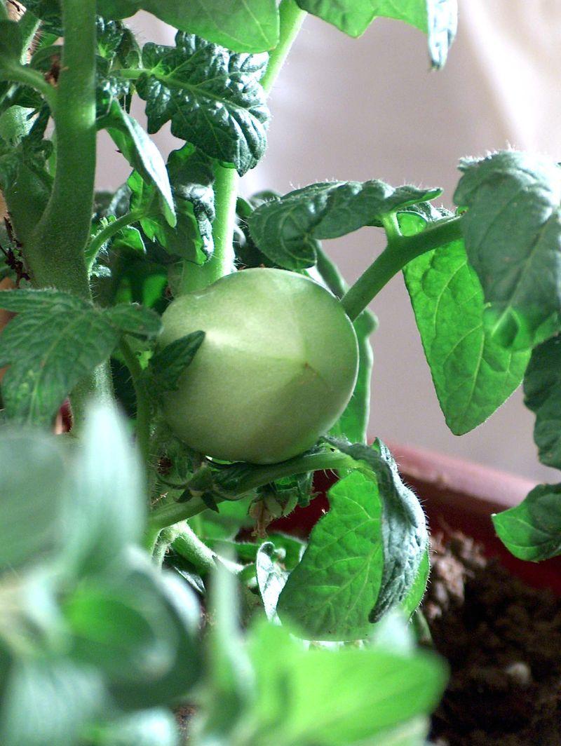 patio-gardening-container-herbs-tomato1.jpg