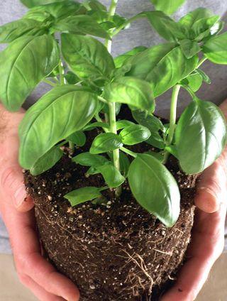 patio-gardening-container-herbs-tomato2.jpg
