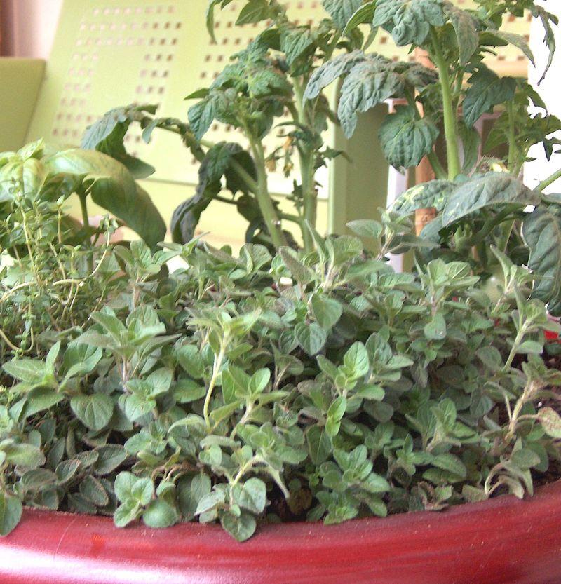 patio-gardening-container-herbs-tomato4.jpg