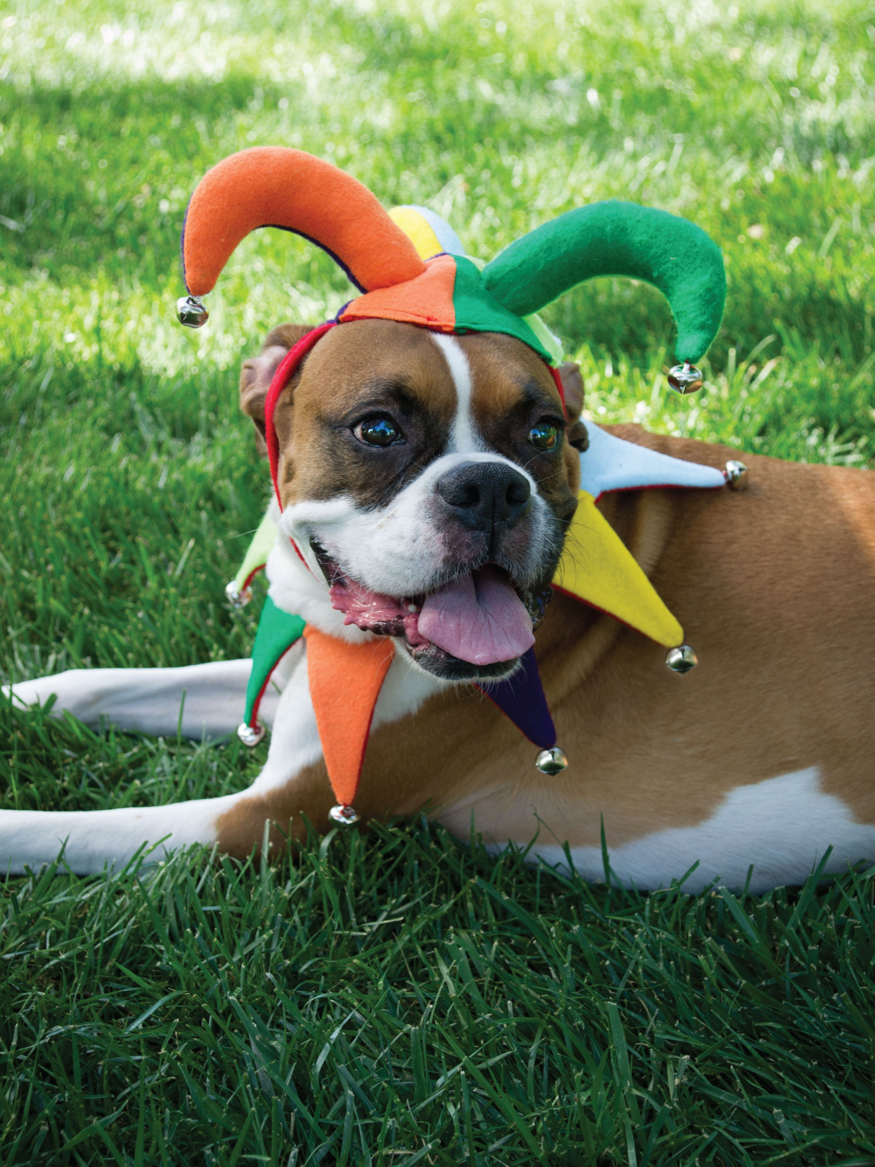 Dog's Jester Costume by Sam Henderson of Today's Nest for HGTV.