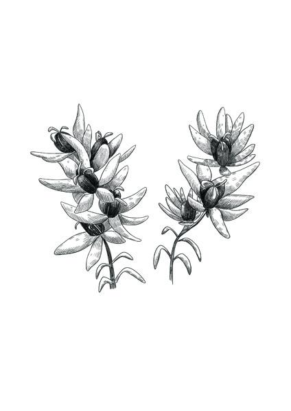 tassie flora 2_1.jpg