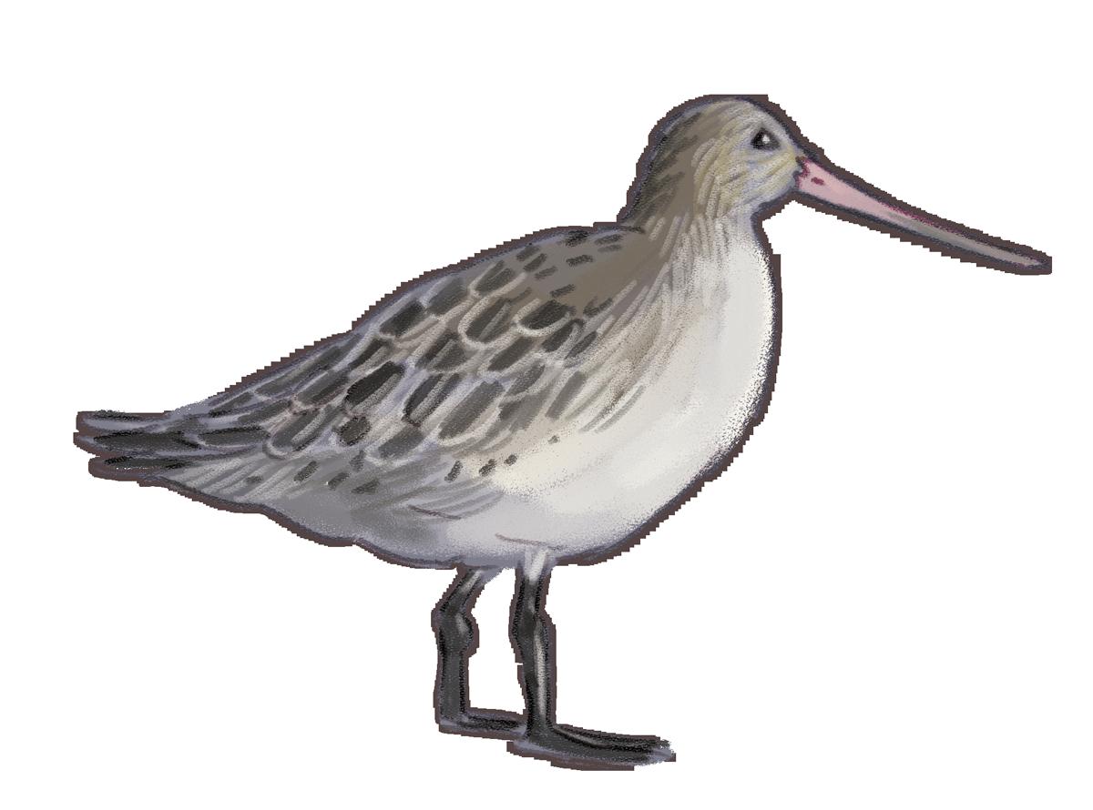 Bar-tailed-godwit.png