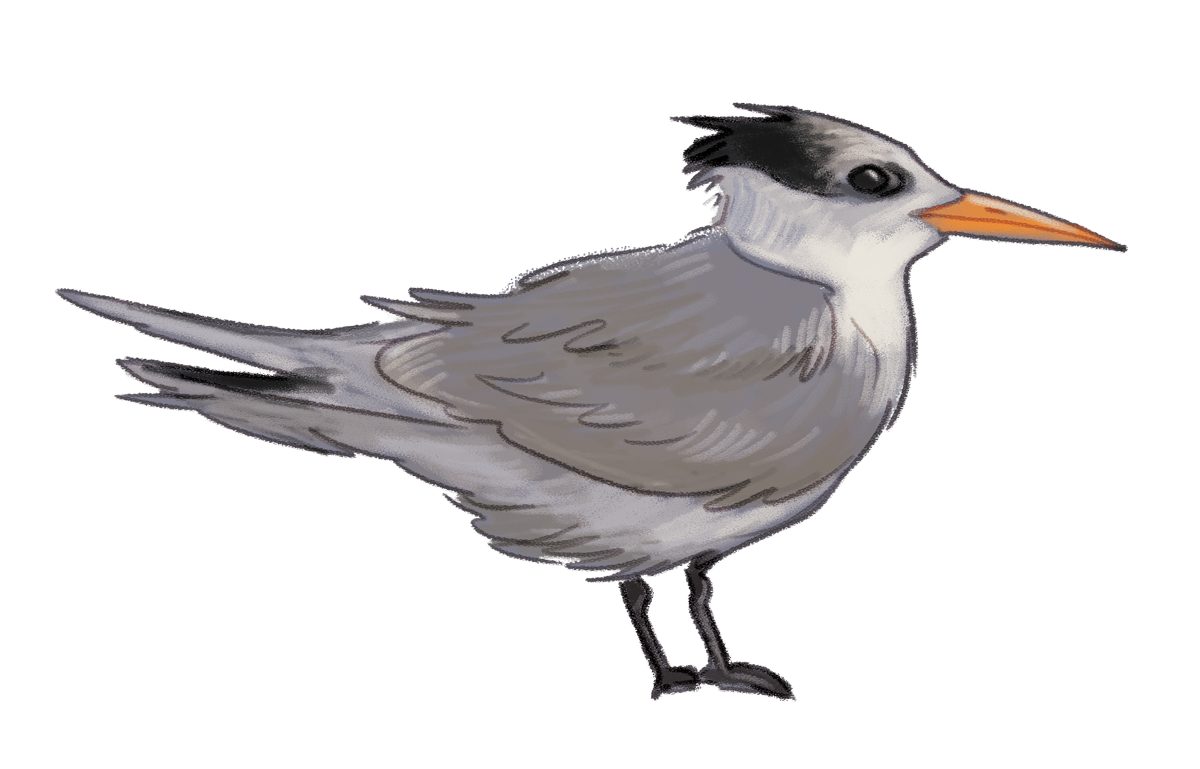 Crested-Tern.png