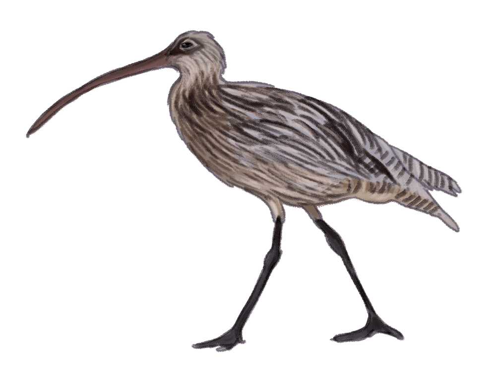 eastern-curlew.png