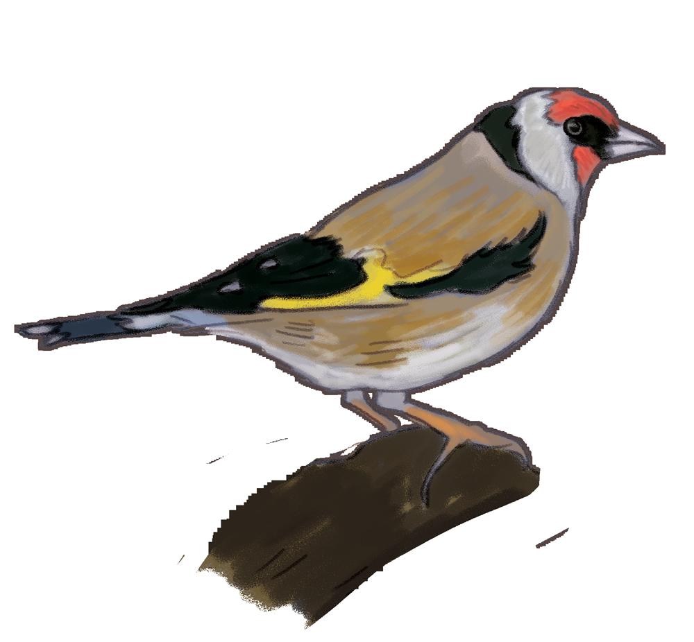 european-Goldfinch.png
