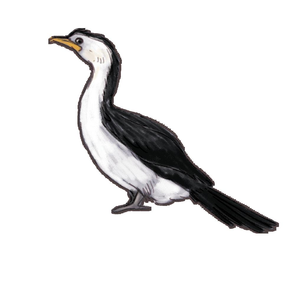 little-pied-cormorant.png