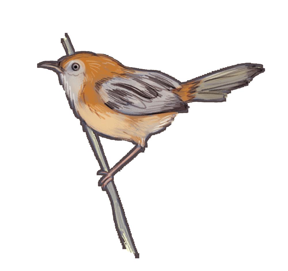 little-grassbird.png