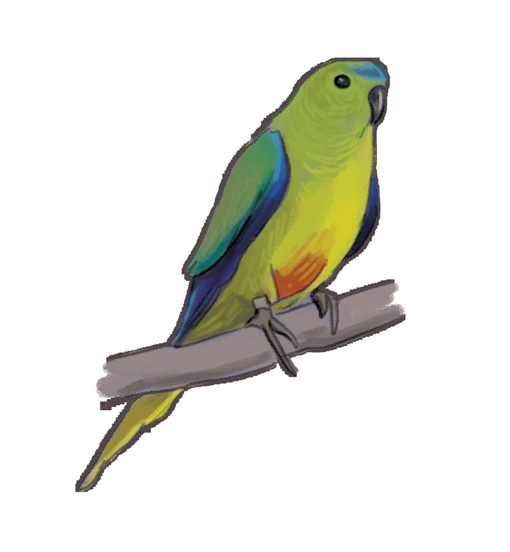orange_bellied_parrot.png