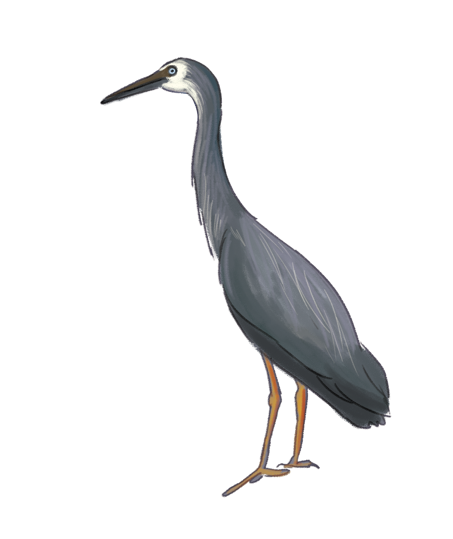 white-faced-heron.png
