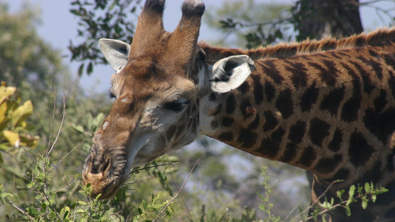 Giraffe in Kruger National Park