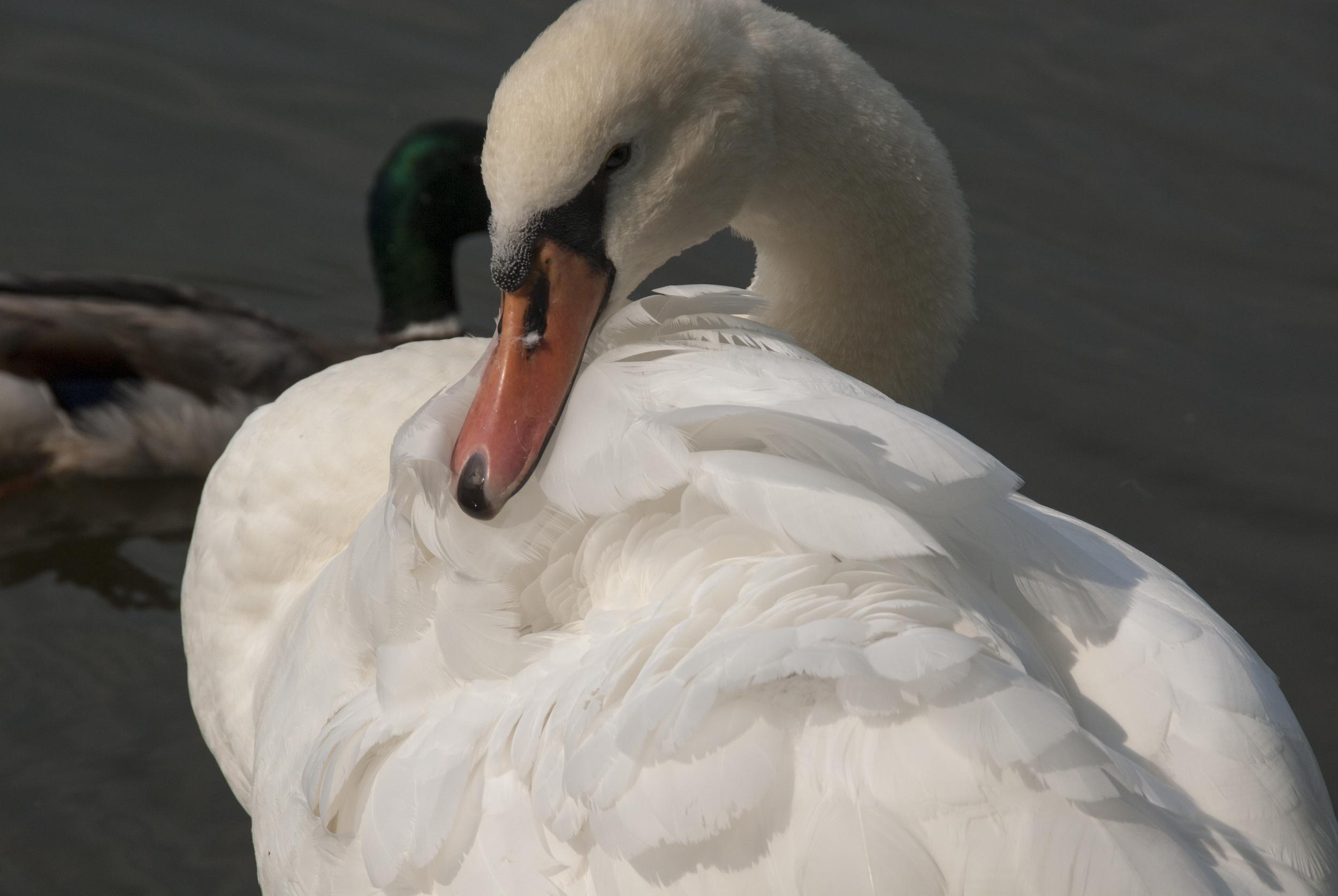 Primping Swan