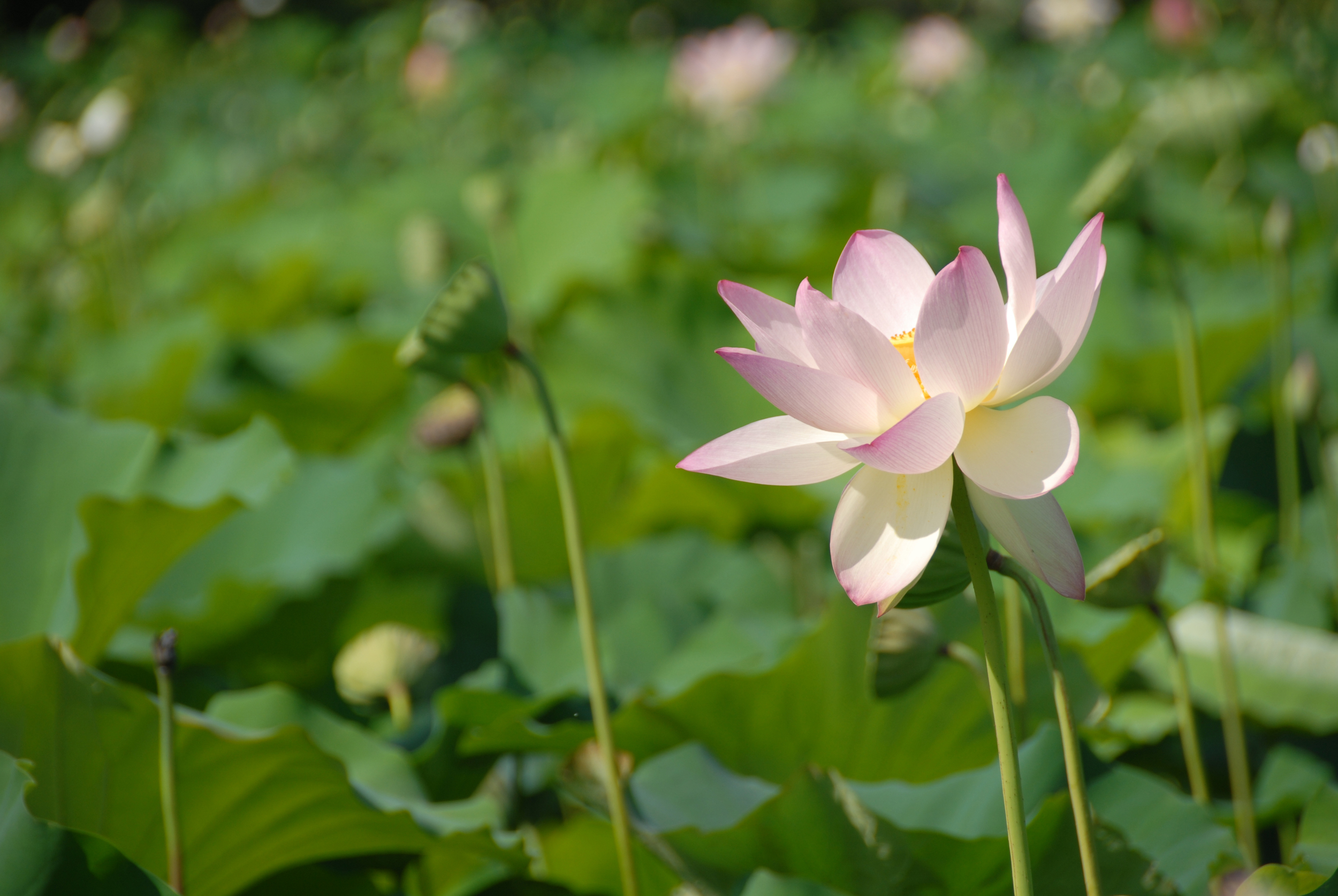 Field of Lotus Flowers