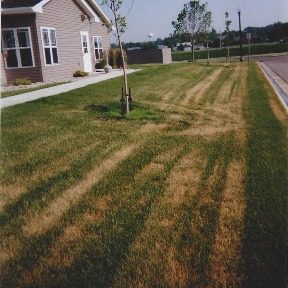 Lawn that didn't get enough water and was damaged by mower wheel tracks when water demand was high.  Prompt heavy watering will help the lawn replace the injured leaves.