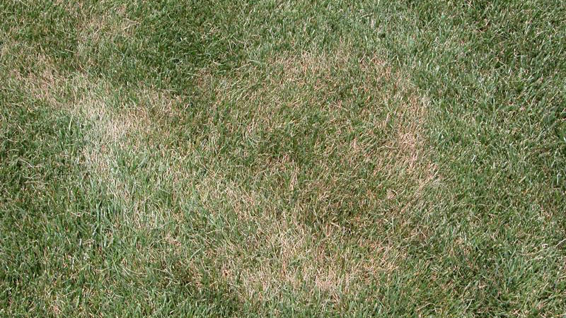 Summer Patch Disease ( North Carolina State Extension photo)