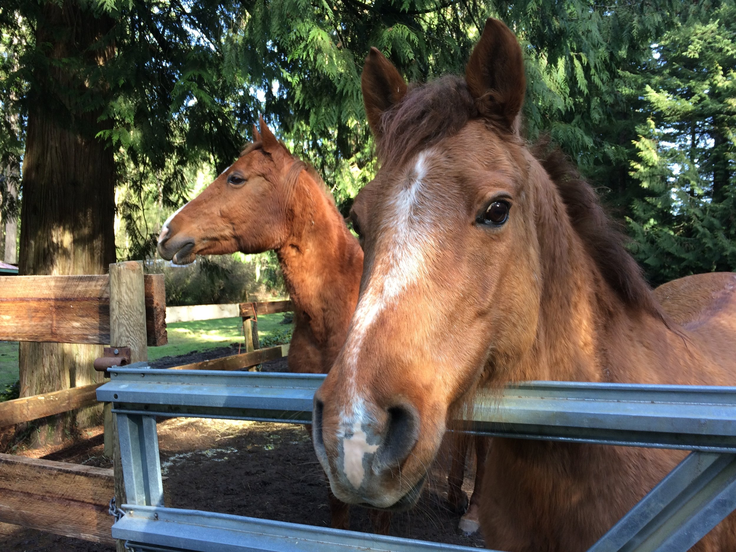 Here are Honour and Kiana, impatiently waiting at the gate for something to happen, hoping I will take them out to pasture. They only wish they could choose to do this for themselves!