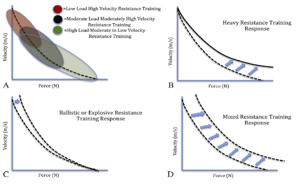 A theoretical graph of adaptation to different modes of training above, and force-velocity curves of IIa fibers of control subjects vs bodybuilders vs power athletes 4,7