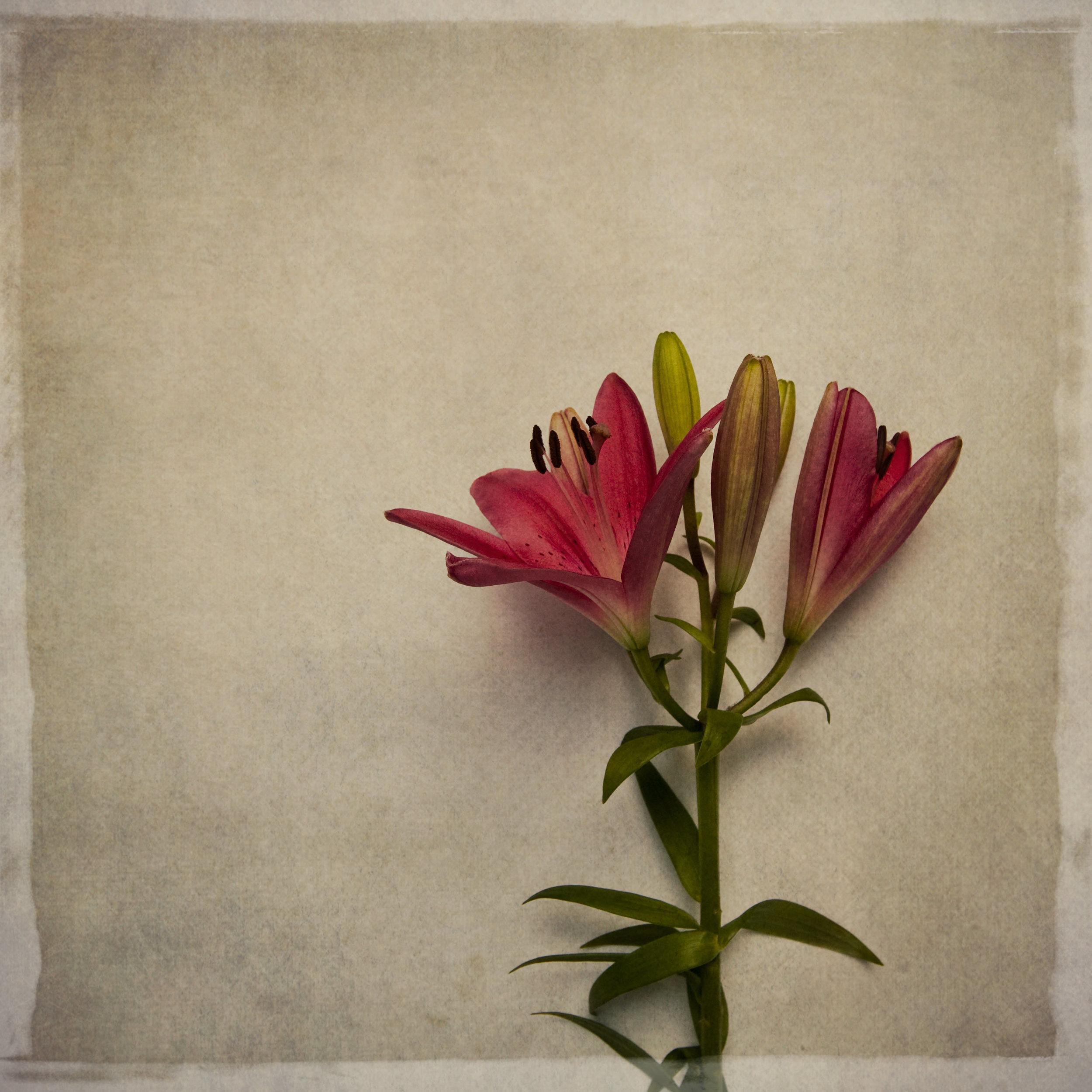 lily-7752.jpg