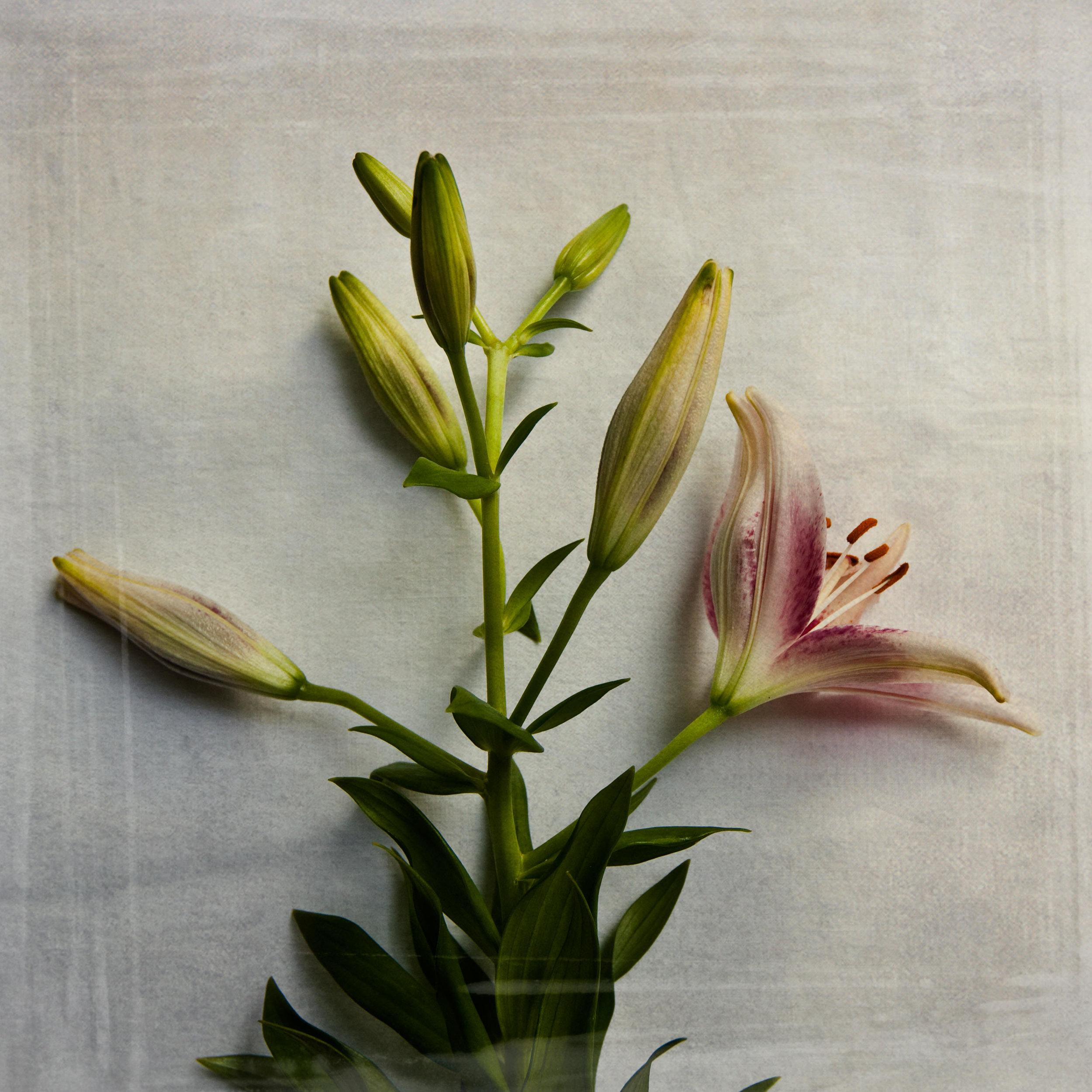 lily-7761.jpg