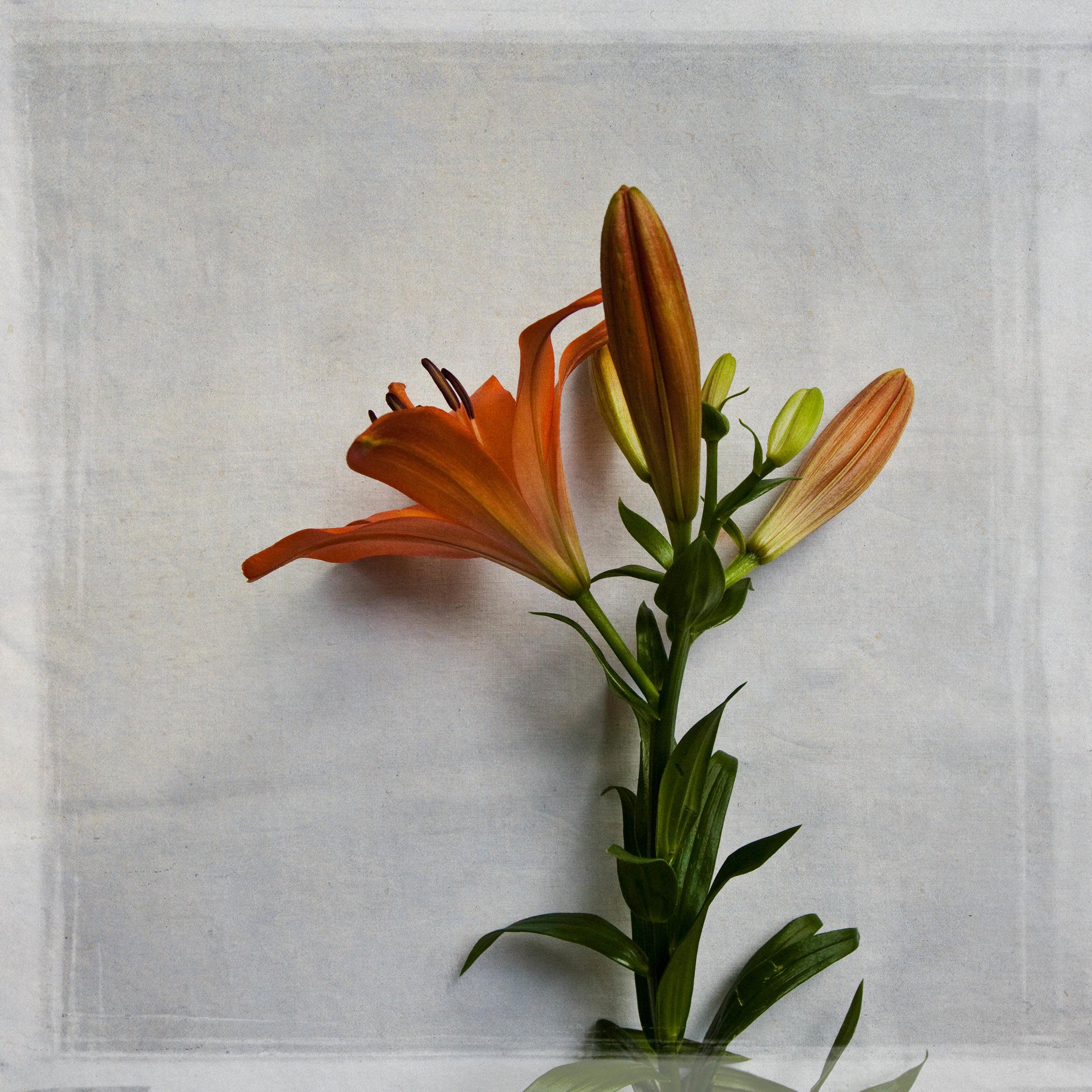lily-7775.jpg