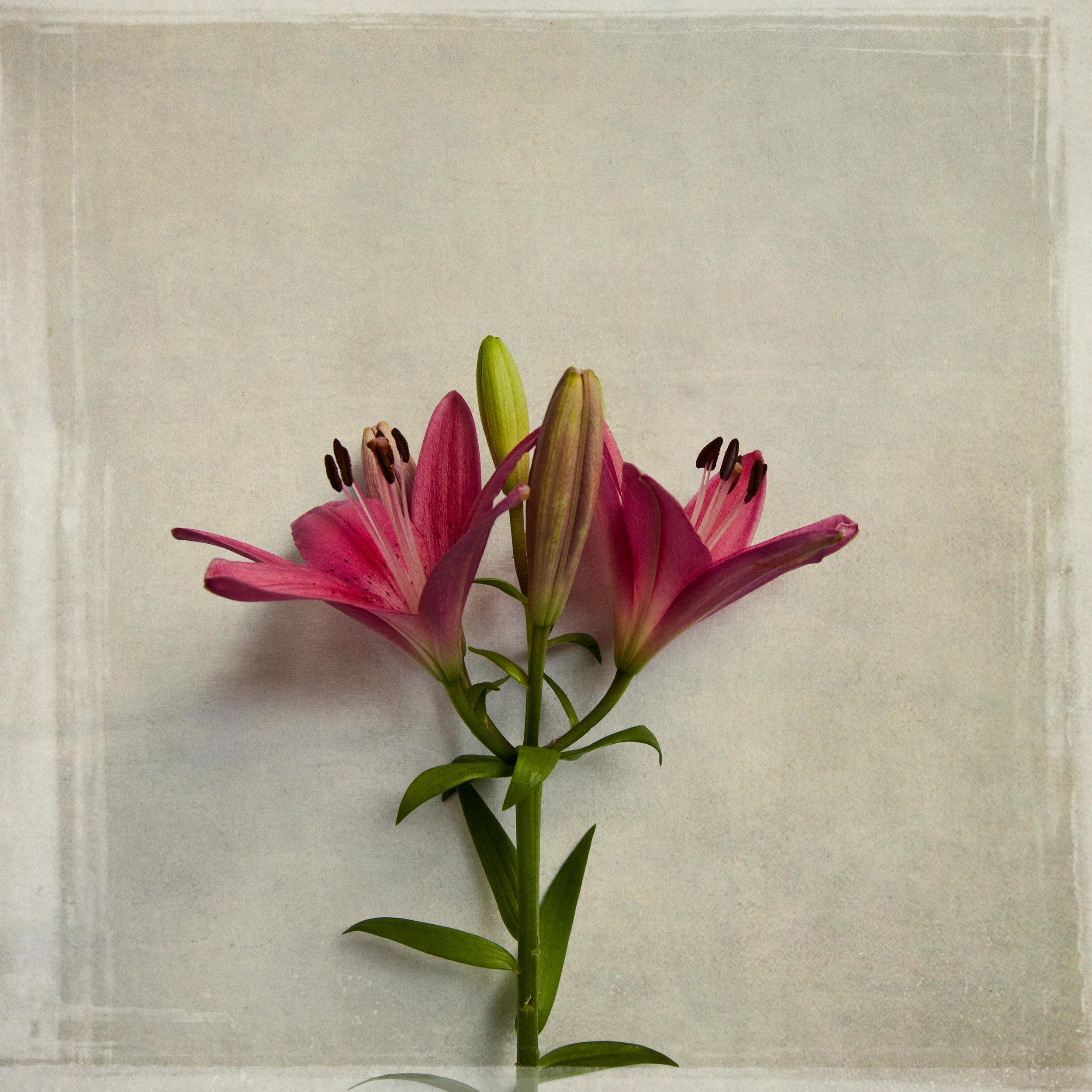 lily-7782.jpg