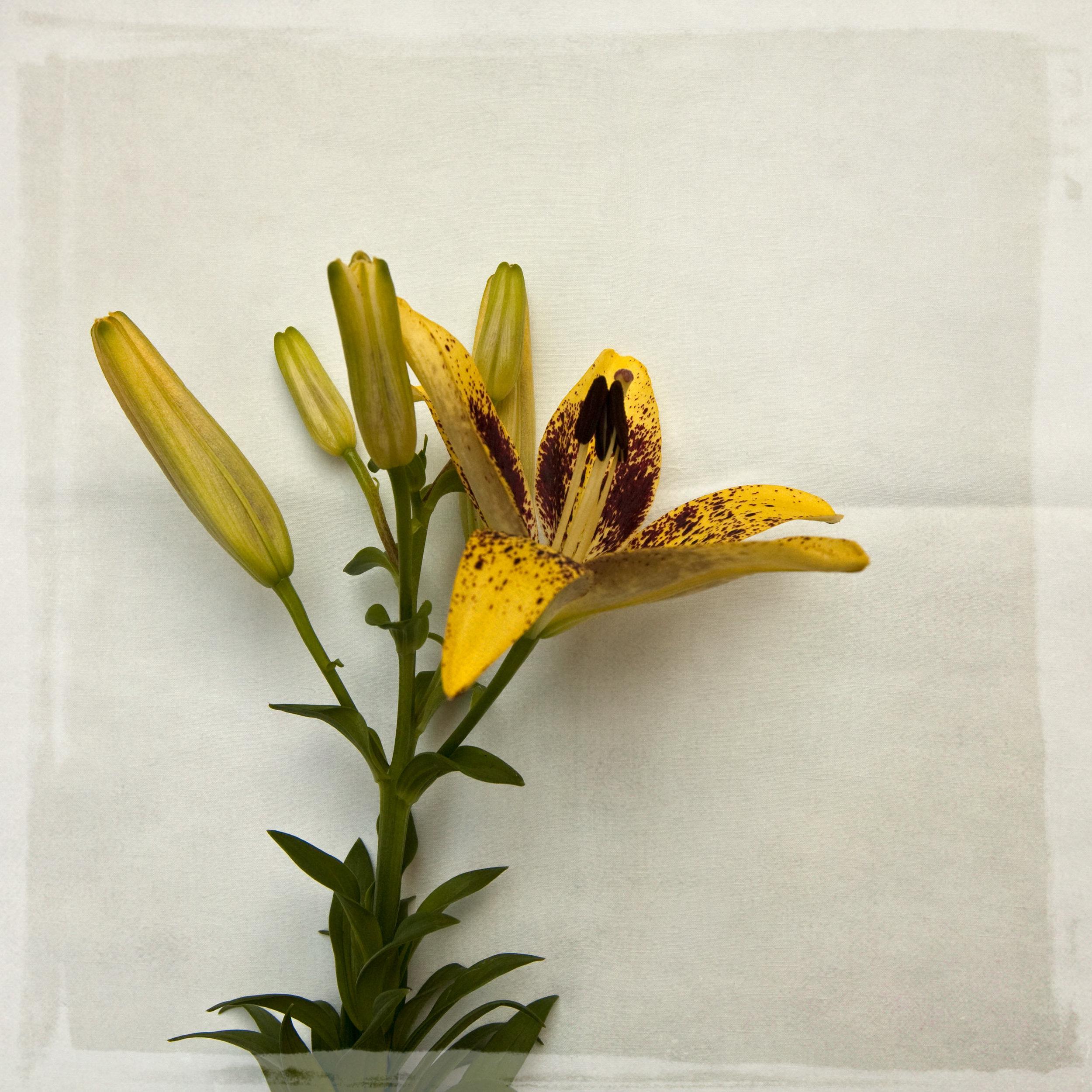 lily-7794.jpg