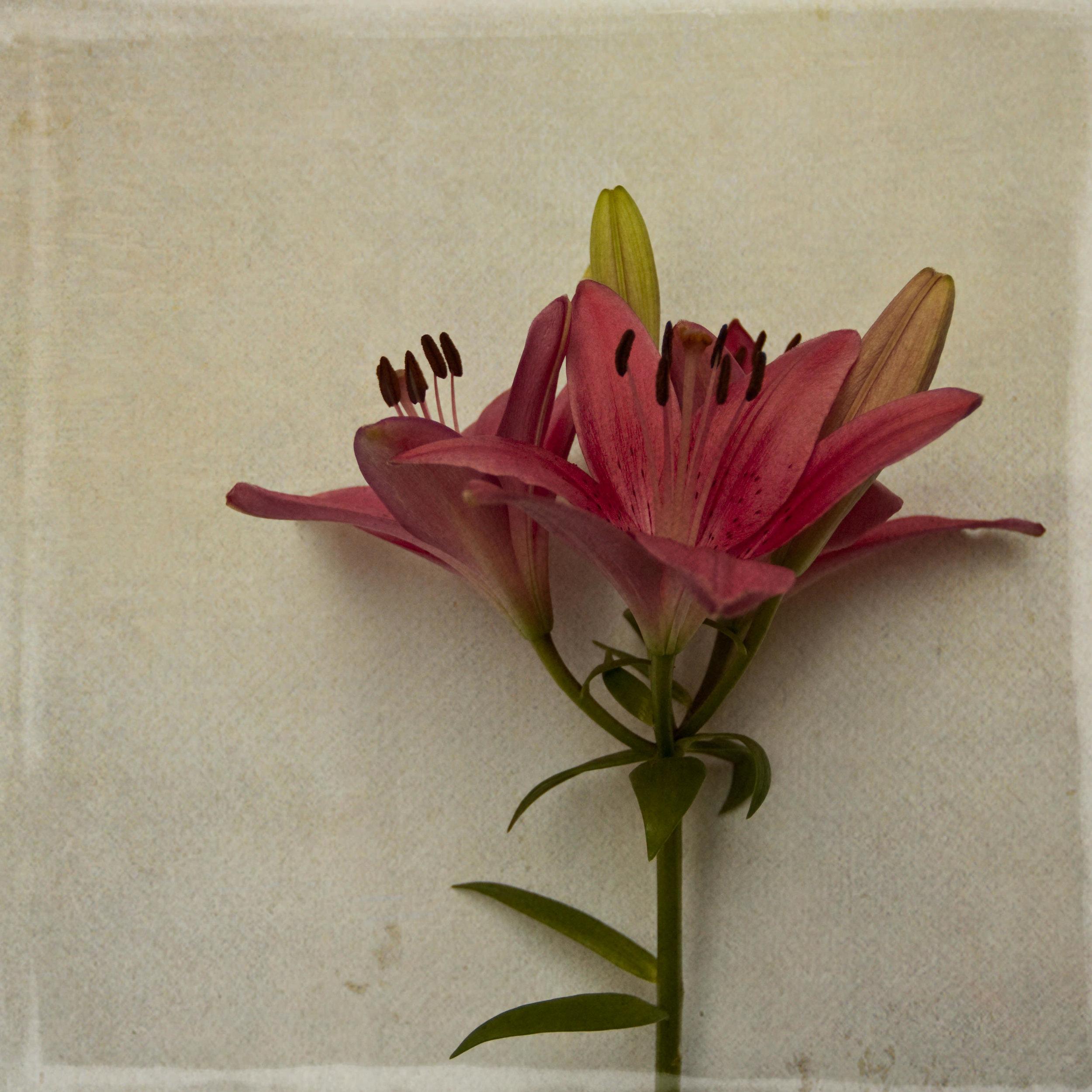 lily-7832.jpg