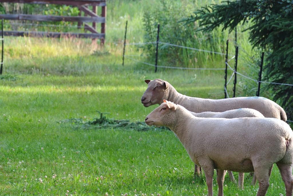 Purebred Charollais Sheep