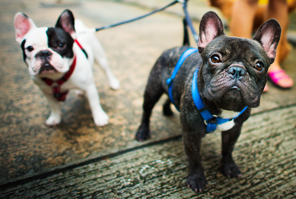 Two cute French bulldog puppies on leash