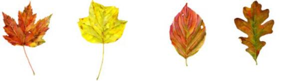 Leaf Illustrations by Dale Morgan