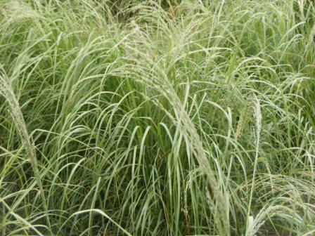 CISCO's Summer Delight Teff Grass produces high quality forage in the summer.