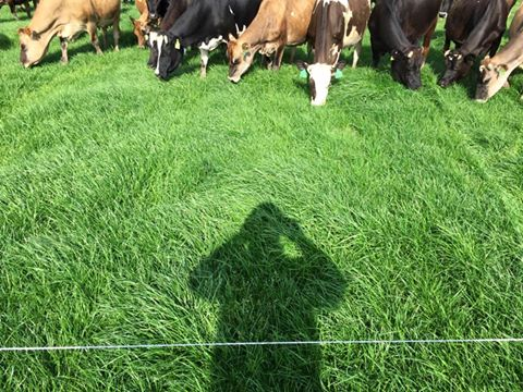 Albion Ryegrass being grazed for the fourth time in Missouri - and it's only May.
