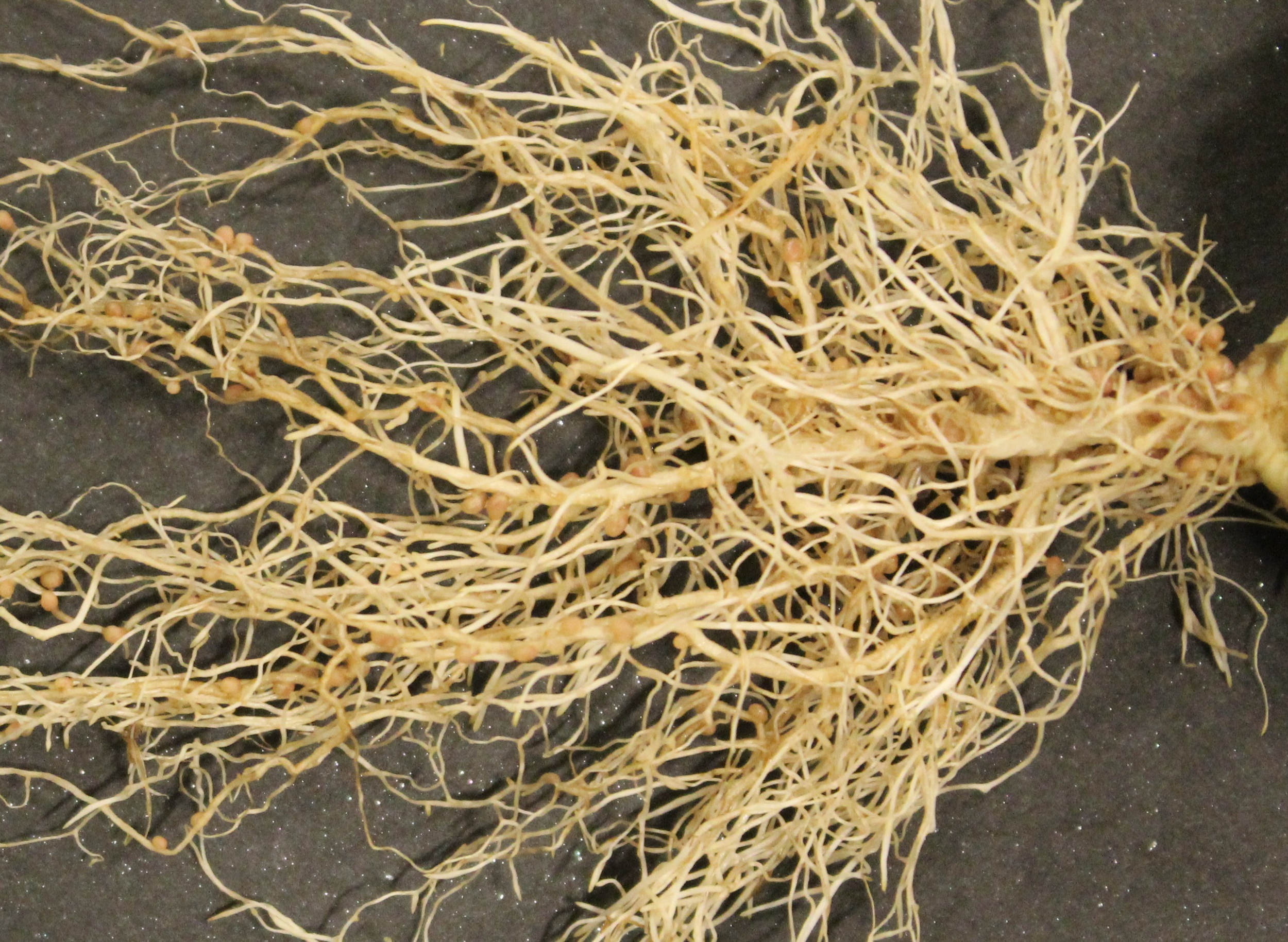 Balansa Clover Root