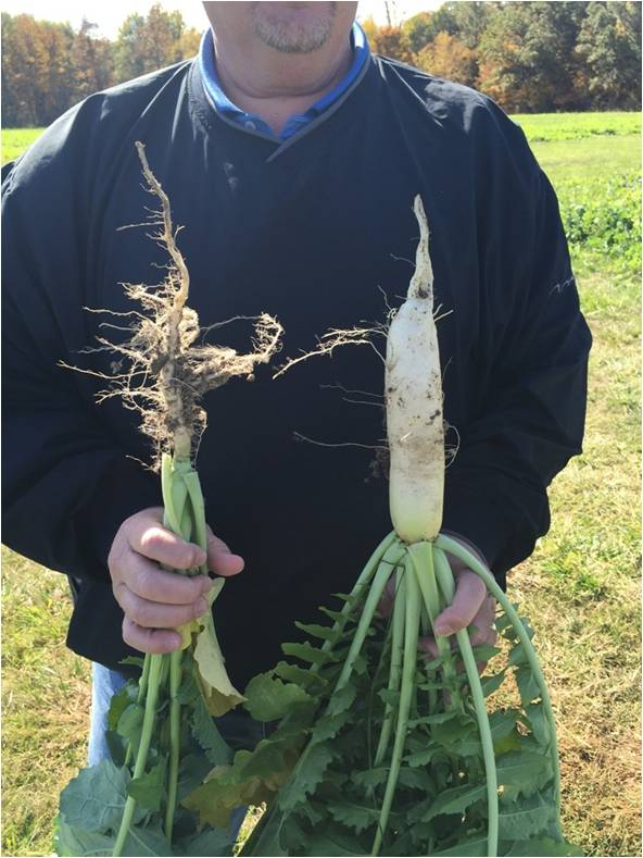 Compare the root of the rapeseed on the left to the radish root on the right.