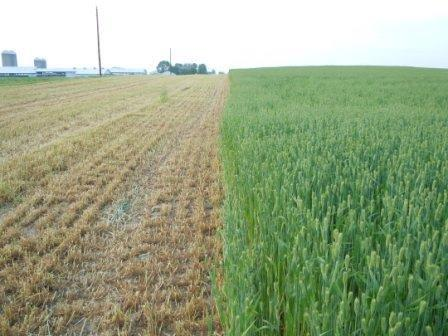 Harvested+Winter+Barley+from+Dairy+Farm.jpg