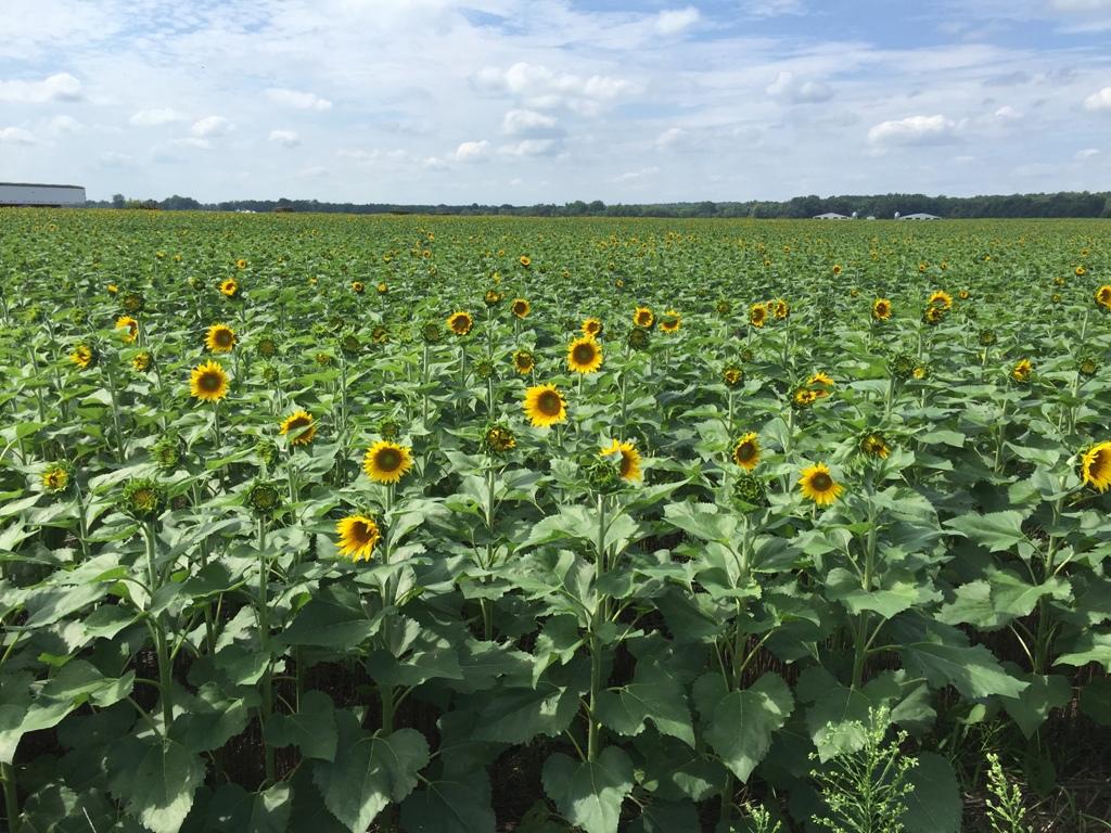 Sunflowers 2.jpeg