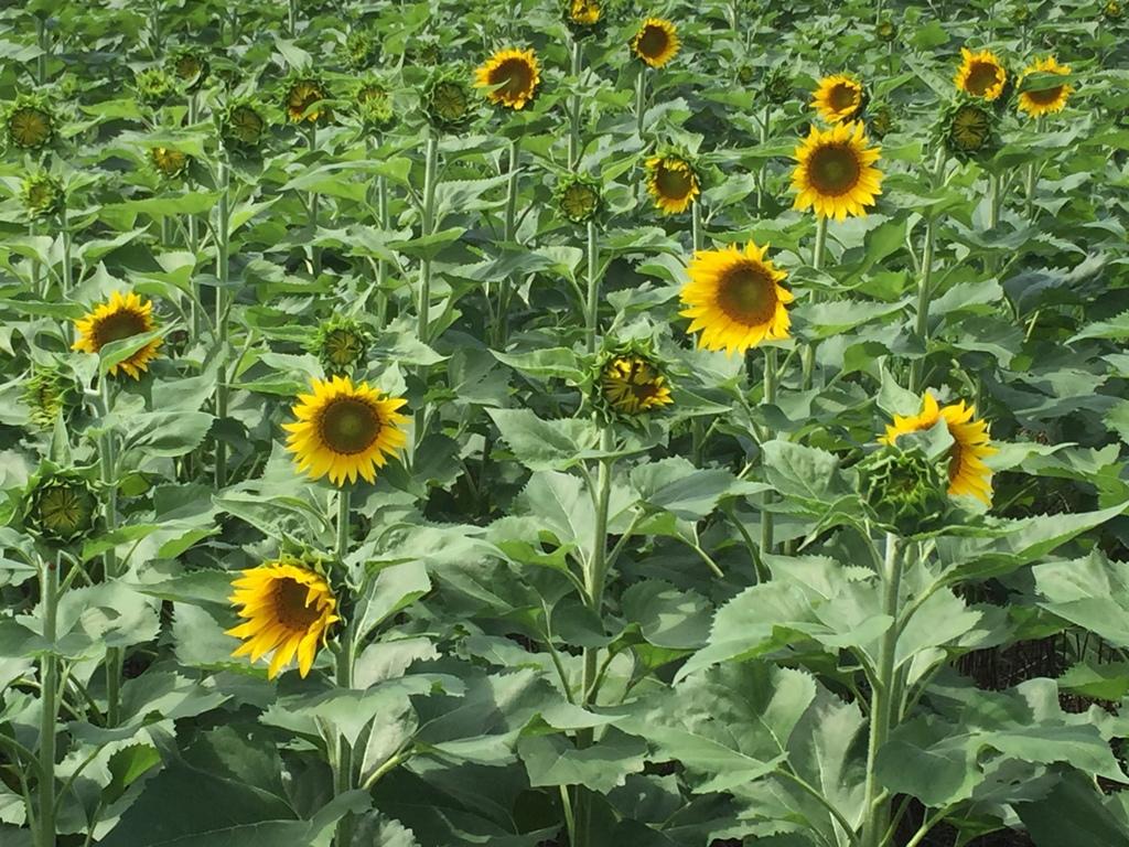 Sunflowers 4.jpeg