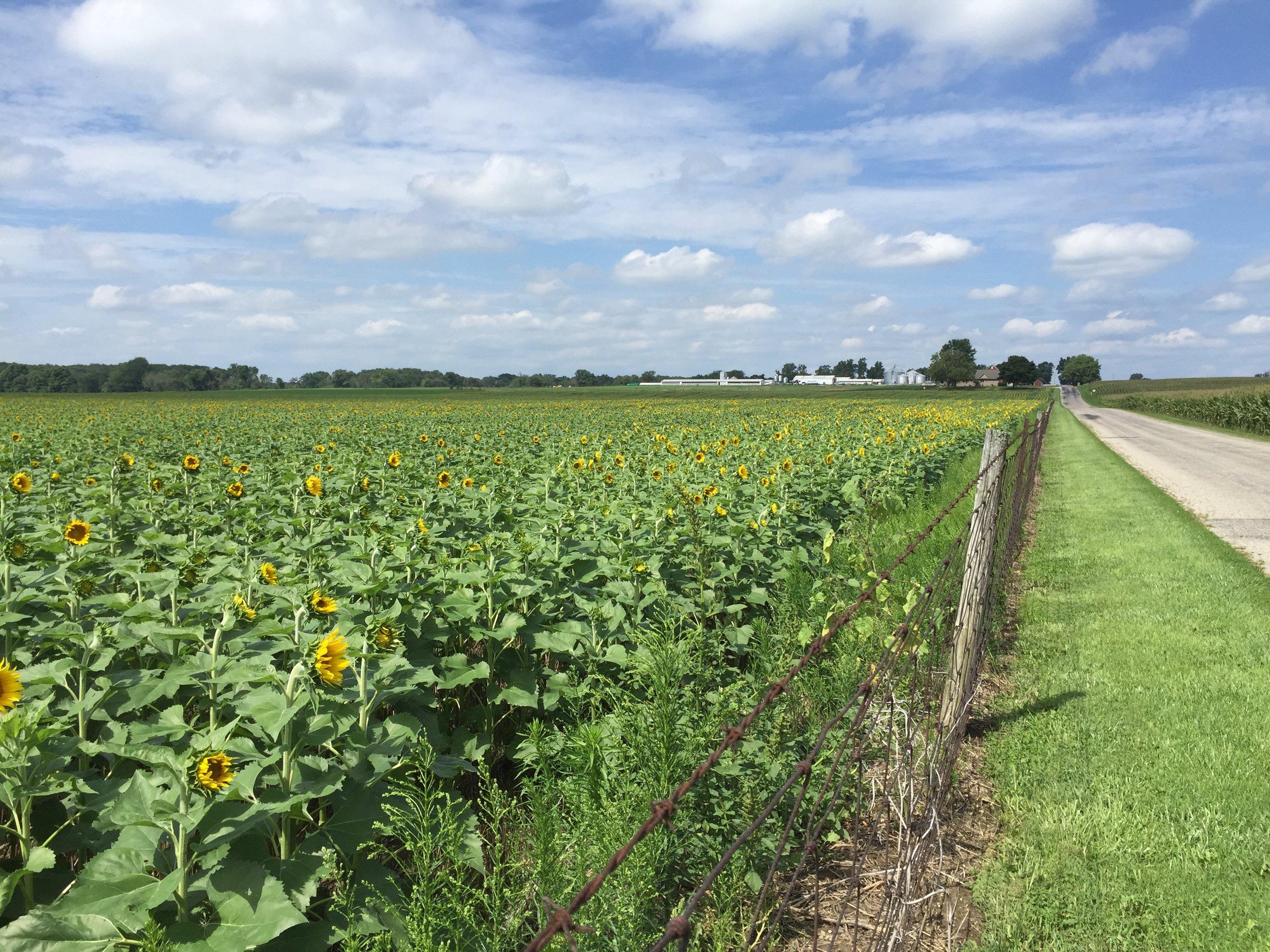 Sunflowers 5.jpeg