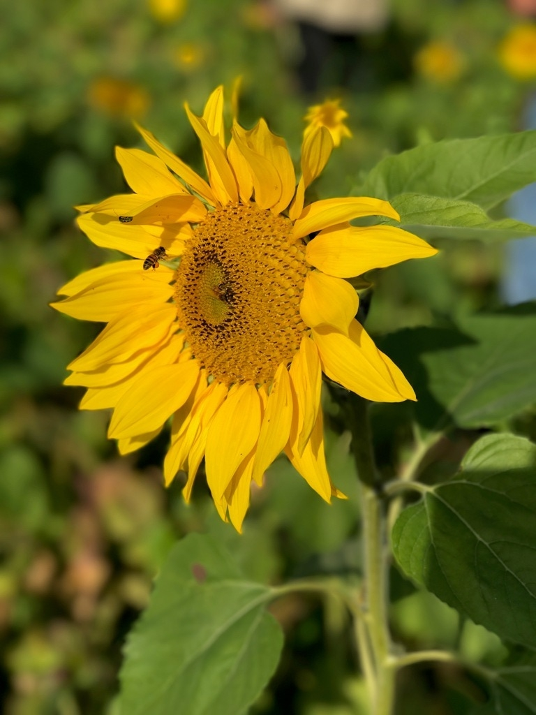 Sunflowers 3.jpeg
