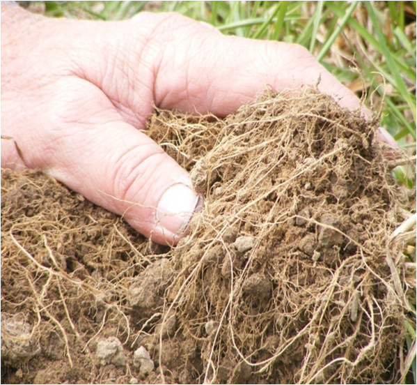 Annual Ryegrass Roots Closeup.png