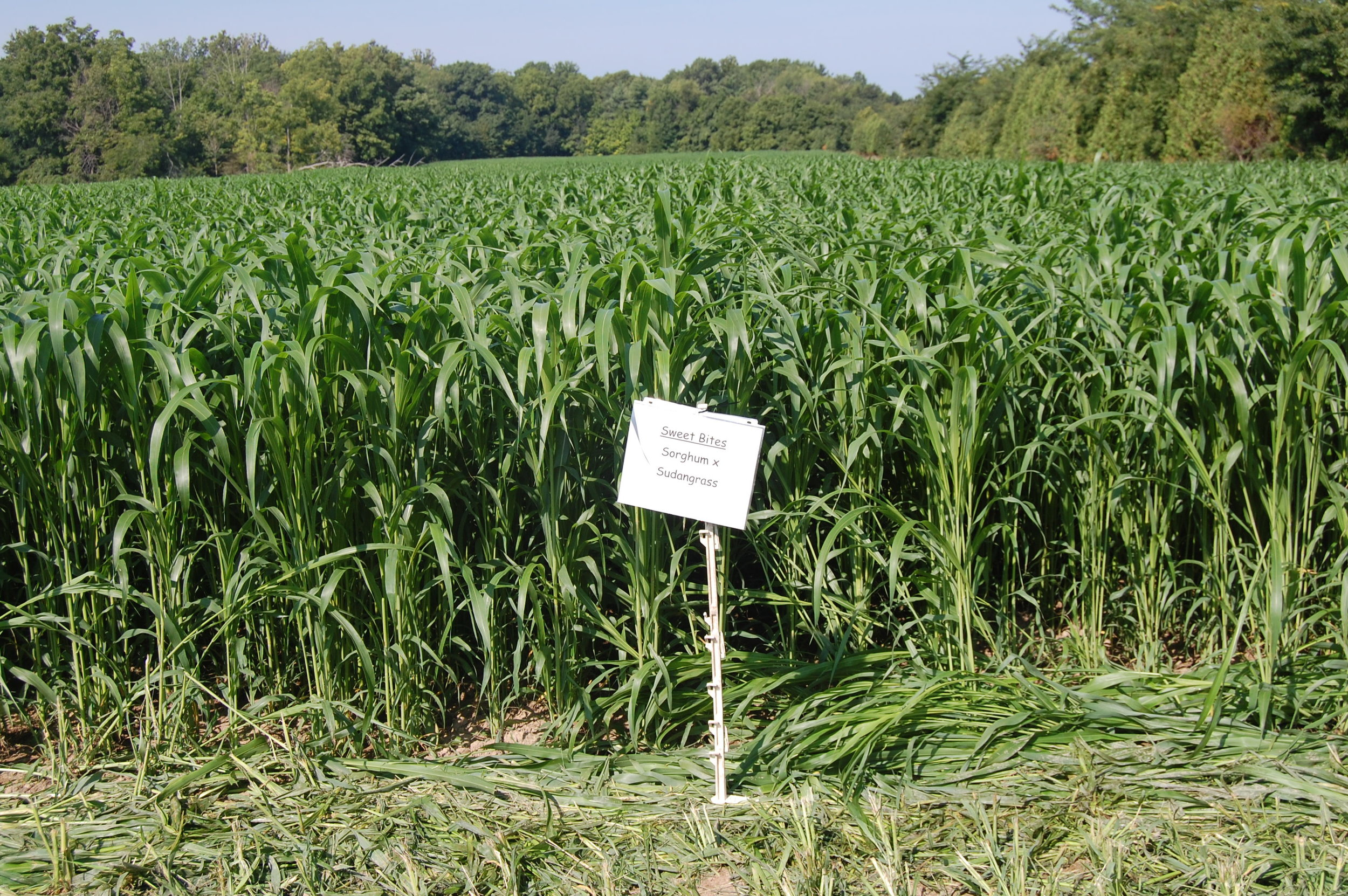 Super Sweet Honey Hybrid Sorghum Sudangrass BMR Seeds 1000 Seeds