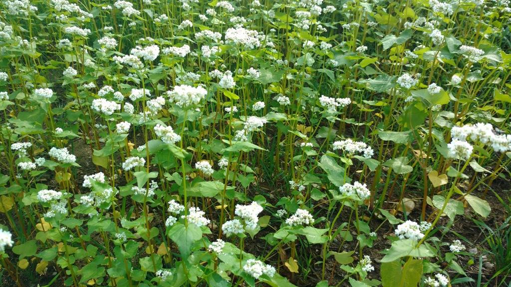 Buckwheat in full bloom.jpg