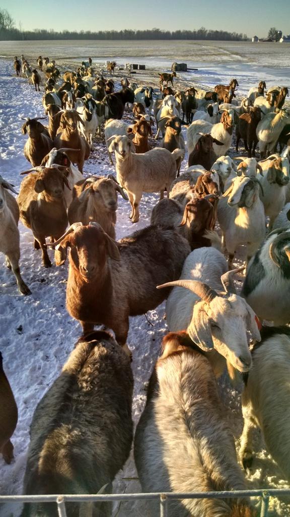 Boer Goat 1.jpg