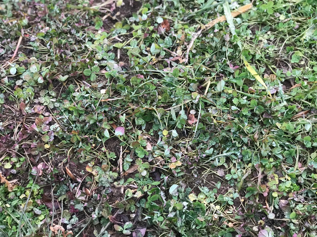 Balansa Clover - January 11 - After a couple of weeks of sub 0 temps - under snow - 50 degrees today.jpg
