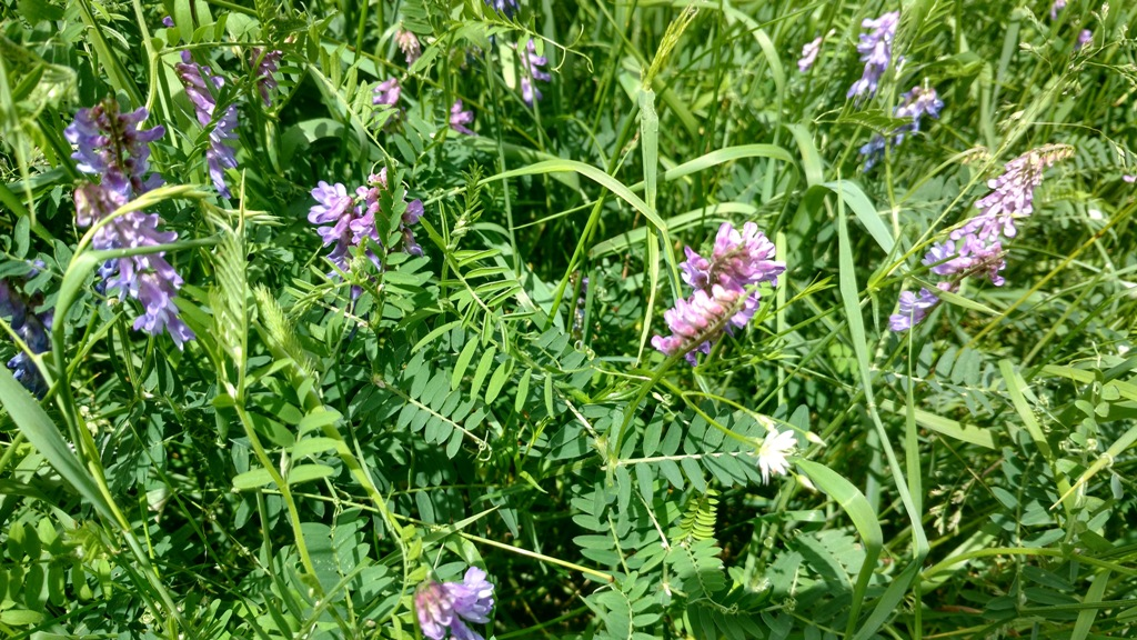hairy vetch from Sweeten's farm - lots of purple flowers.jpg