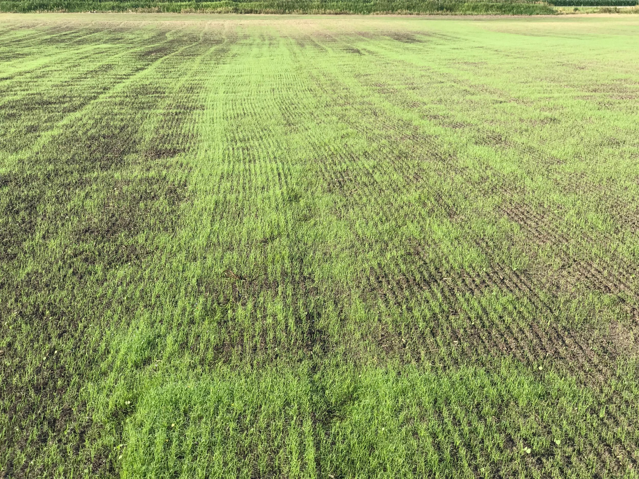 2018.6.28 - Teff - Bremen - 13 days after planting5.JPG