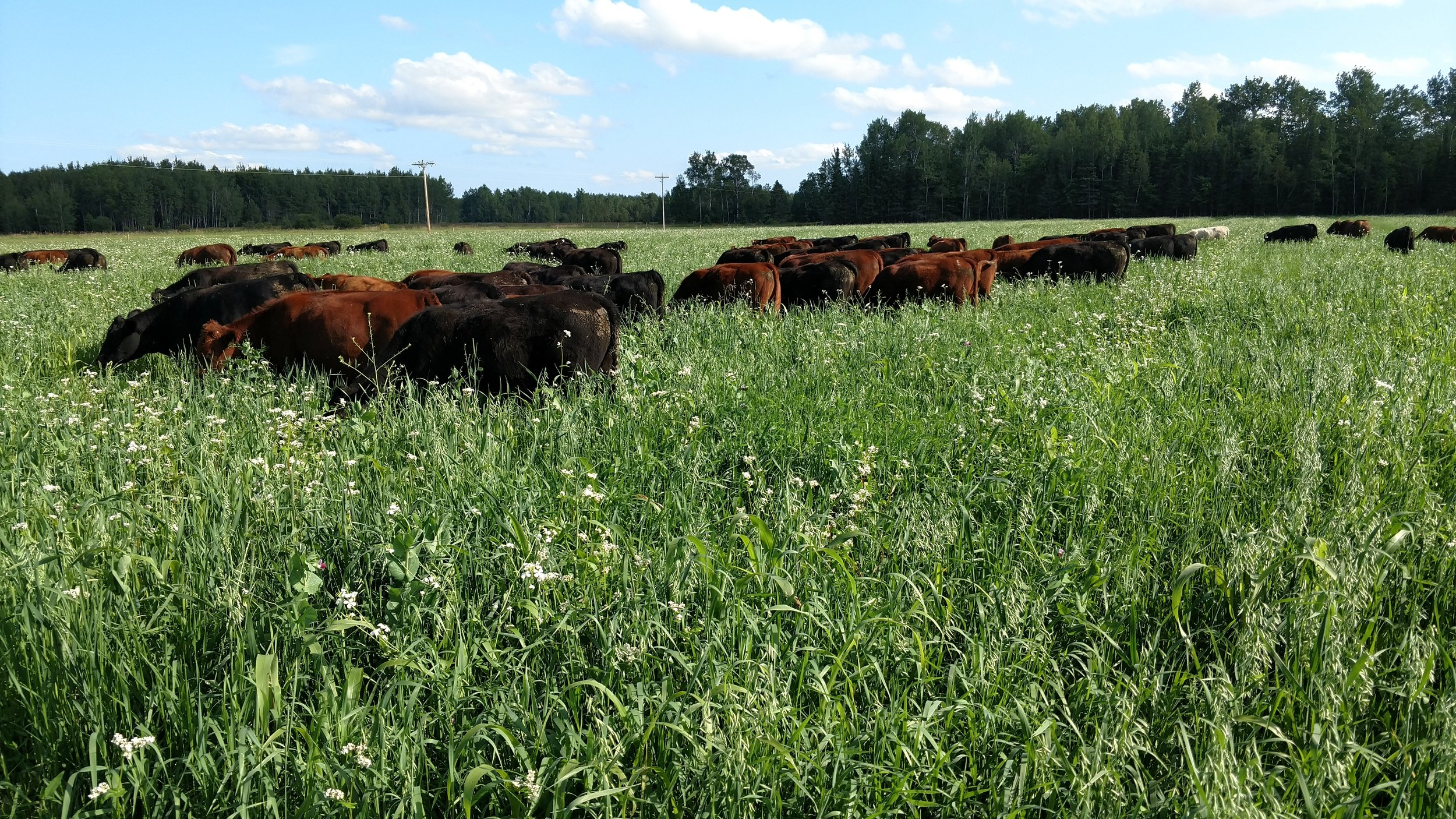 Cattle grazing a cover crop cocktail mix designed both for animal performance and soil health