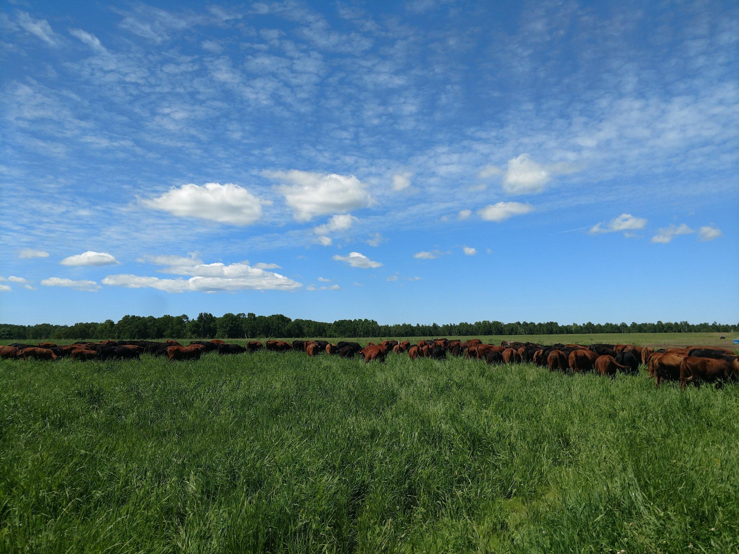 Sweeten Farms - Cattle enjoying beautiful pasture on a beautiful day in the U.P. of Michigan