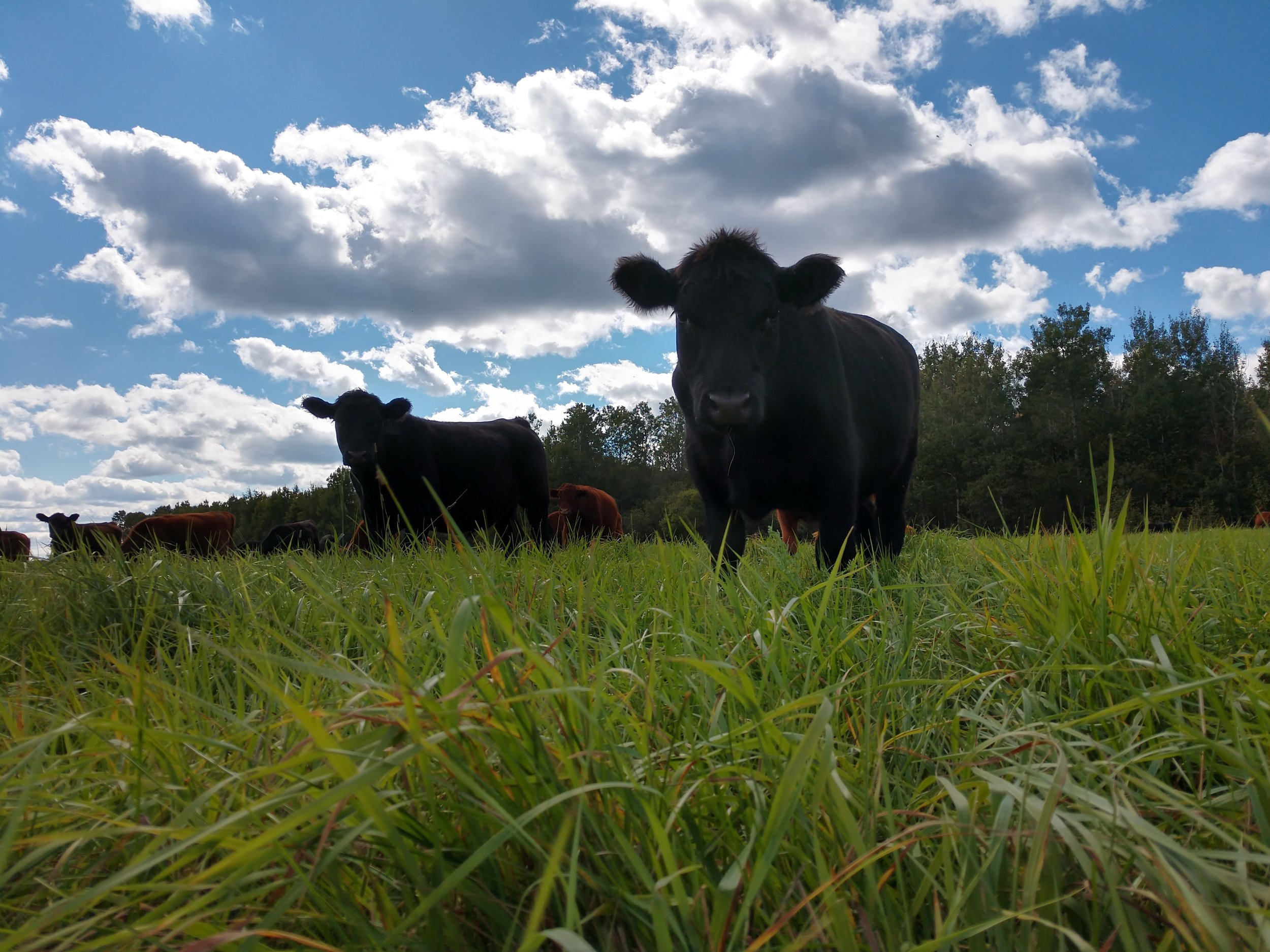 cover photo - cattle grazing under blue sky.jpg