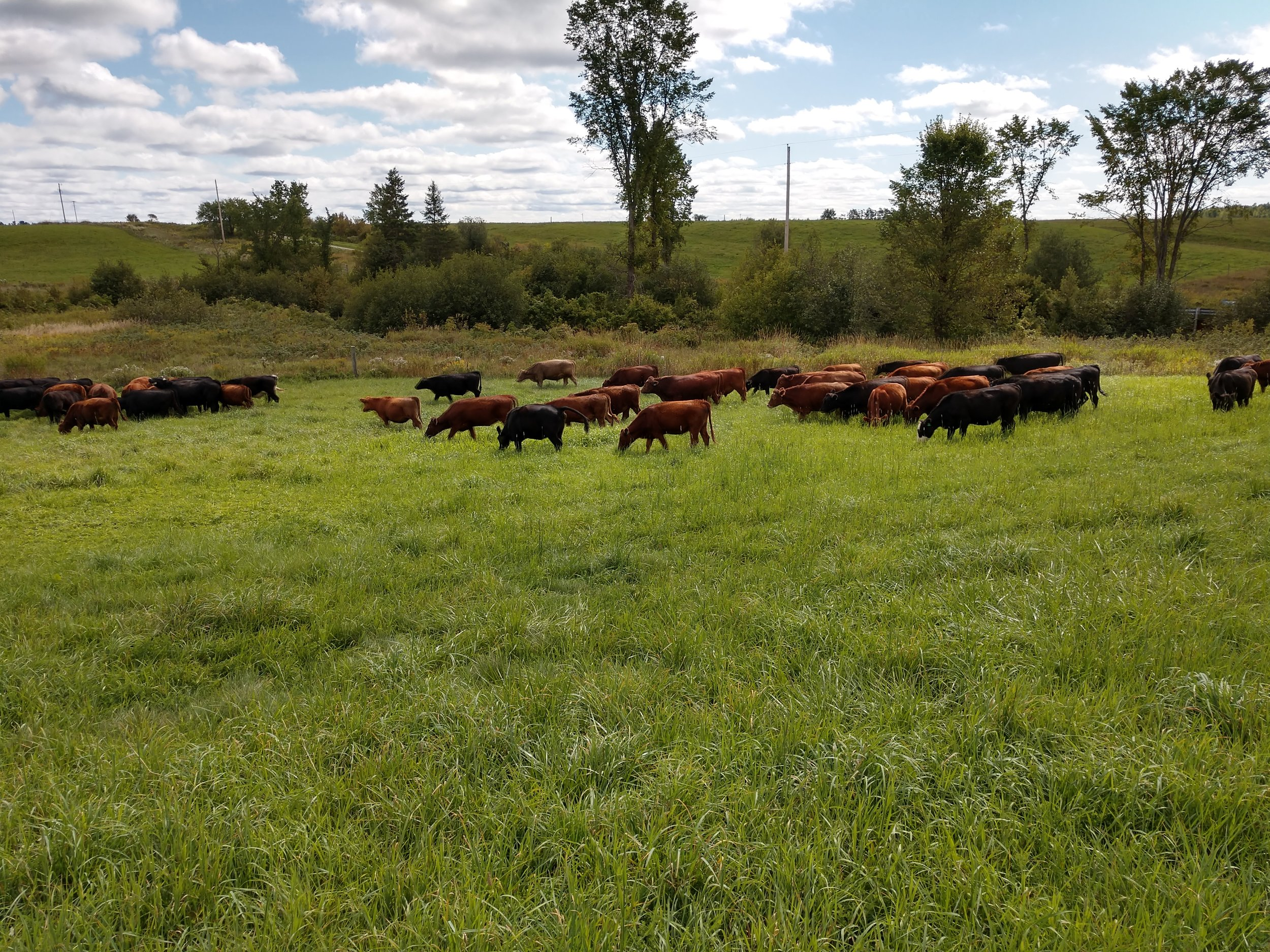 cover photo - cattle grazing with blue sky in distance.jpg